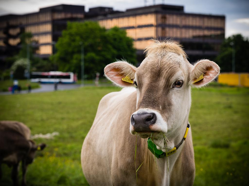 ETH Zürich mit Kuh