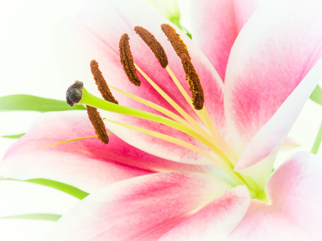 Lilie Blüte